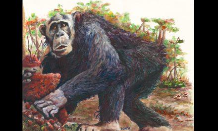 Dr Thurston Cleveland Hicks badaczem kongijskich szympansów